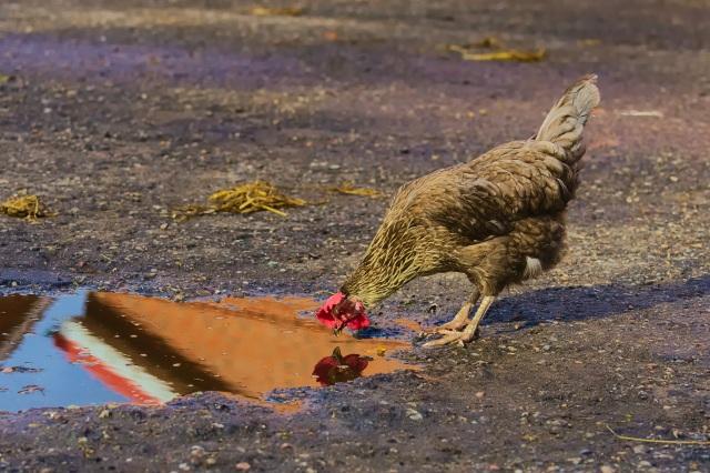 chicken-2825101